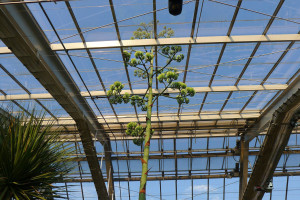 A window panel in the ceiling of the conservatory had to be removed because of the agave plant's 22 ft.high stalk.