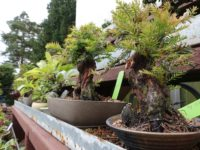 Photos of bonsai trees in Mel Goldstein's garden. Experts say his private collection is one of the finest in North America. Photo by Mike Wood, Michigan News.