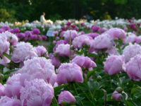 The Nichols Arboretum Peony Garden. Photo by Michele Yanga.