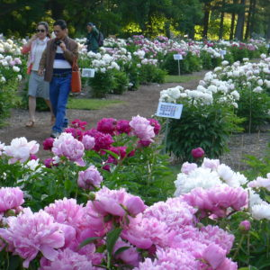 Nichols Arboretum is home to the largest collection of heirloom herbaceous peonies in North America. Photo by Michele Yanga.