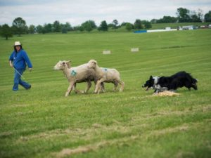 University of Michigan linguist Robin Queen and her border collie Zac compete at the 2016 Bluegrass Classic Stockdog Trial in Lexington, Kentucky. Photo by Susan Garrett.