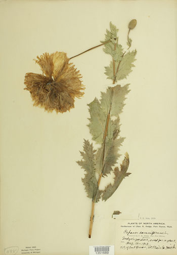 Papaver somniferum L., 1912, dried plant mounted on paper, Courtesy of the University of Michigan Herbarium