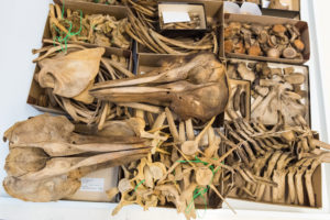 Dolphin skulls, vertebrae and other assorted bones at the U-M Museum of Zoology. Photo by Daryl Marshke/Michigan Photography.