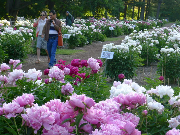 Nichols Arboretum Is Home To The Largest Collection Of Heirloom Herbaceous  Peonies In North America.