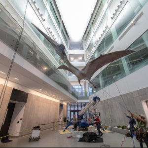 A life-size model of a giant prehistoric pterosaur being hoisted into place in an atrium at the U-M Biological Sciences Building. Photo by Roger Hart/Michigan Photography.