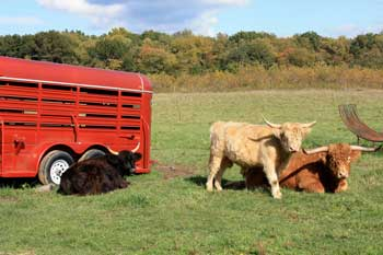 Three cows grazing in the grass next to a red trailer.